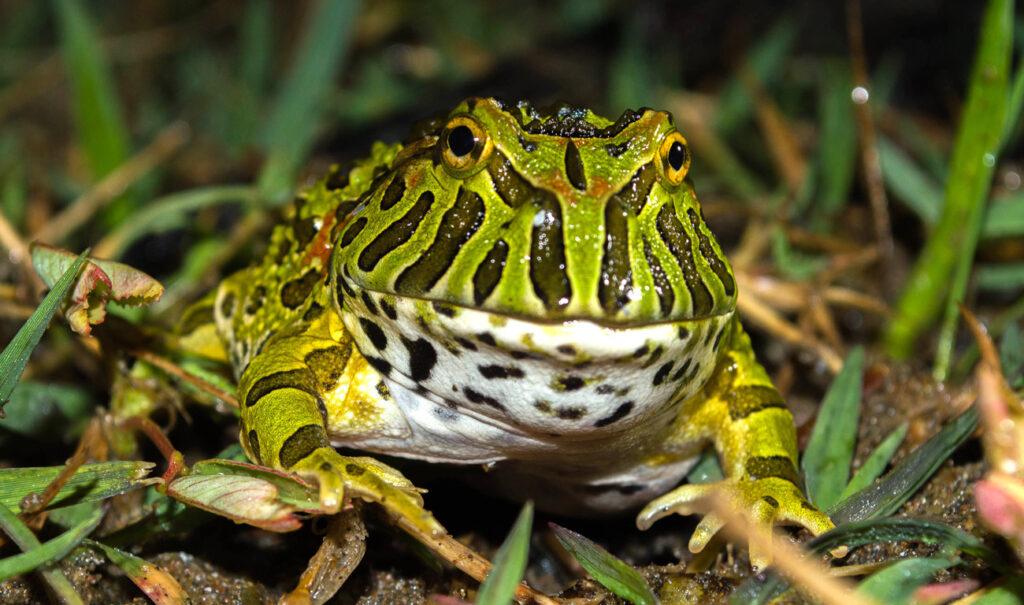 El escuerzo, un primo de la rana y el sapo
